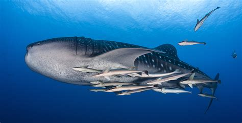 The Best Locations to Swim & Dive with Whale Sharks by
