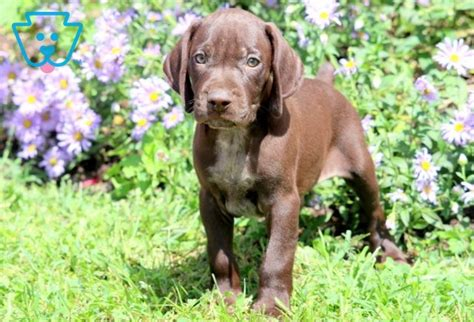 Mugsy | German Shorthaired Pointer Puppy For Sale