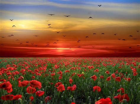 Sunset Sky Red Clouds Birds Field With Poppies Red Flowers