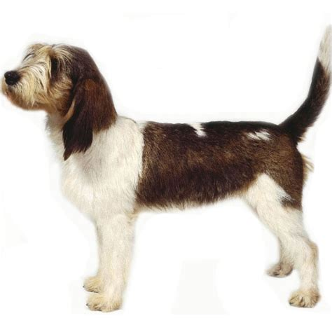 Basset Griffon Vendéen (Grand) Breed Guide - Learn about