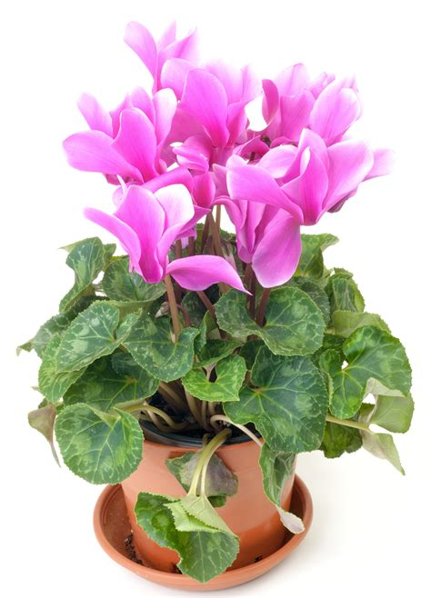 The meaning and symbolism of the word - «Cyclamen»