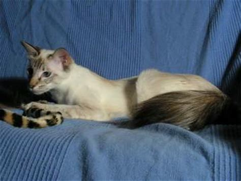 The Balinese Cat Breed | Exploring Balinese Cats