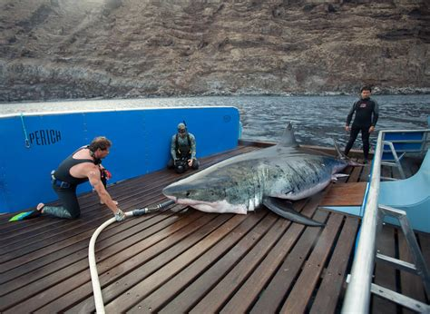 Biggest Great White Shark Caught, Released