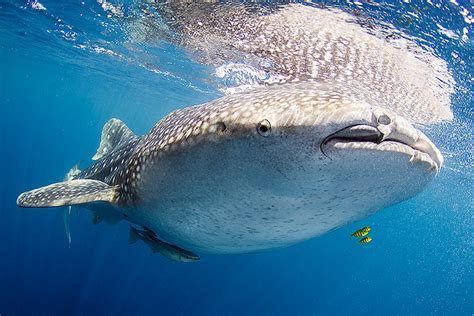 Scientists Fear World's Largest Fish Is Nearing Extinction