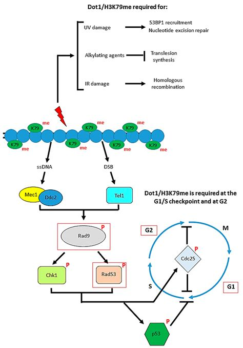 Biomolecules | Free Full-Text | DOT1L and H3K79