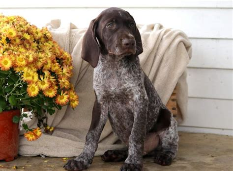 Mason | German Shorthaired Pointer Puppy For Sale