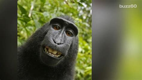 Monkey selfie copyright case for Naruto, the crested