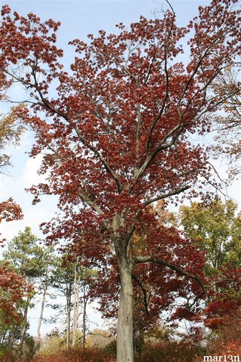 Scarlet Oak - Quercus coccinea - North American Insects