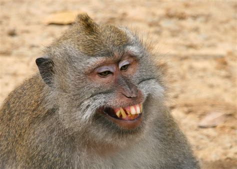Aggressive macaque (Petulu, Indonesia) - Travellerspoint