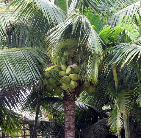 coconut palm - Wiktionary