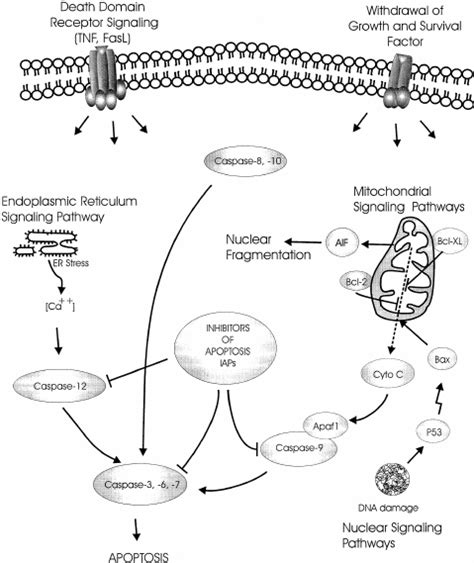 Simplified pathways implicated in apoptotic cell signaling