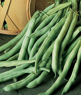 Burpees Stringless Green Pod Bean Seeds and Plants