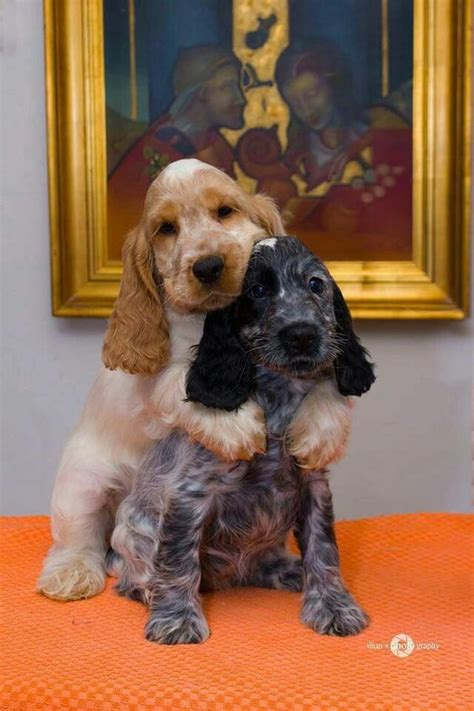 English Toy Cocker Spaniel   Dog Breed Info: Pictures