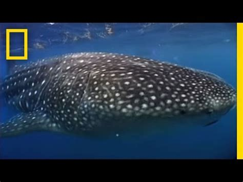 Photographing the World's Biggest Shark - YouTube